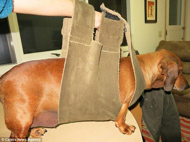El antes y el después de adelgazar 25Kg este perro salchicha. ¡Impresionante! - 4