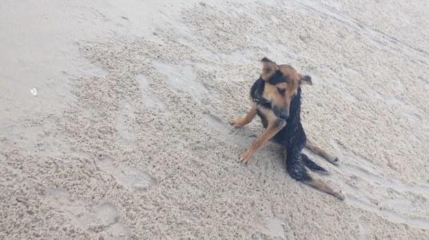 La conmovedora historia de Leo, el perrito paralítico encontrado en una playa de Tailandia - 1
