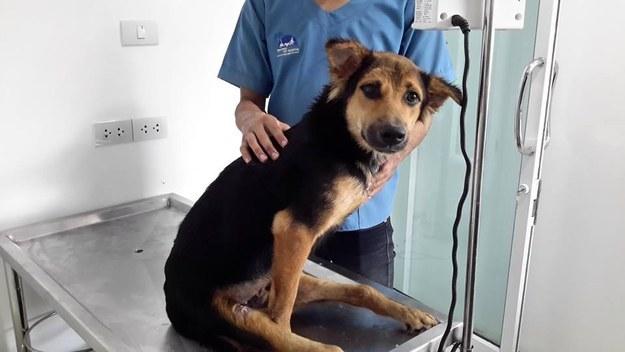 La conmovedora historia de Leo, el perrito paralítico encontrado en una playa de Tailandia - 6