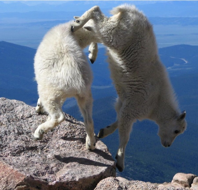 Lugares completamente reales donde nunca pensarías que una cabra pudiera llegar a subirse 10