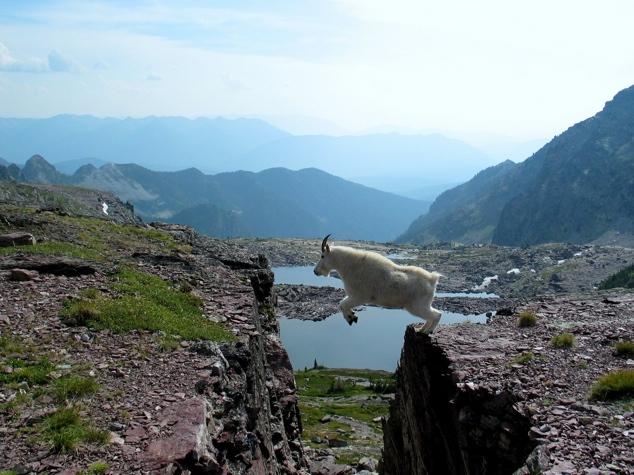 Lugares completamente reales donde nunca pensarías que una cabra pudiera llegar a subirse 16