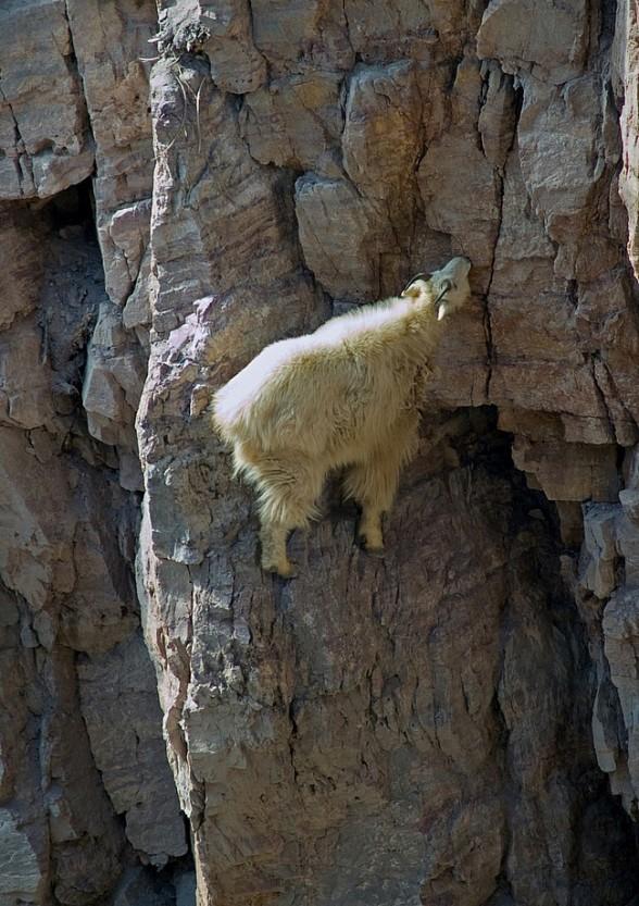 Lugares completamente reales donde nunca pensarías que una cabra pudiera llegar a subirse 17