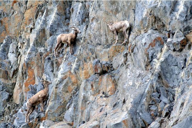 Lugares completamente reales donde nunca pensarías que una cabra pudiera llegar a subirse 18
