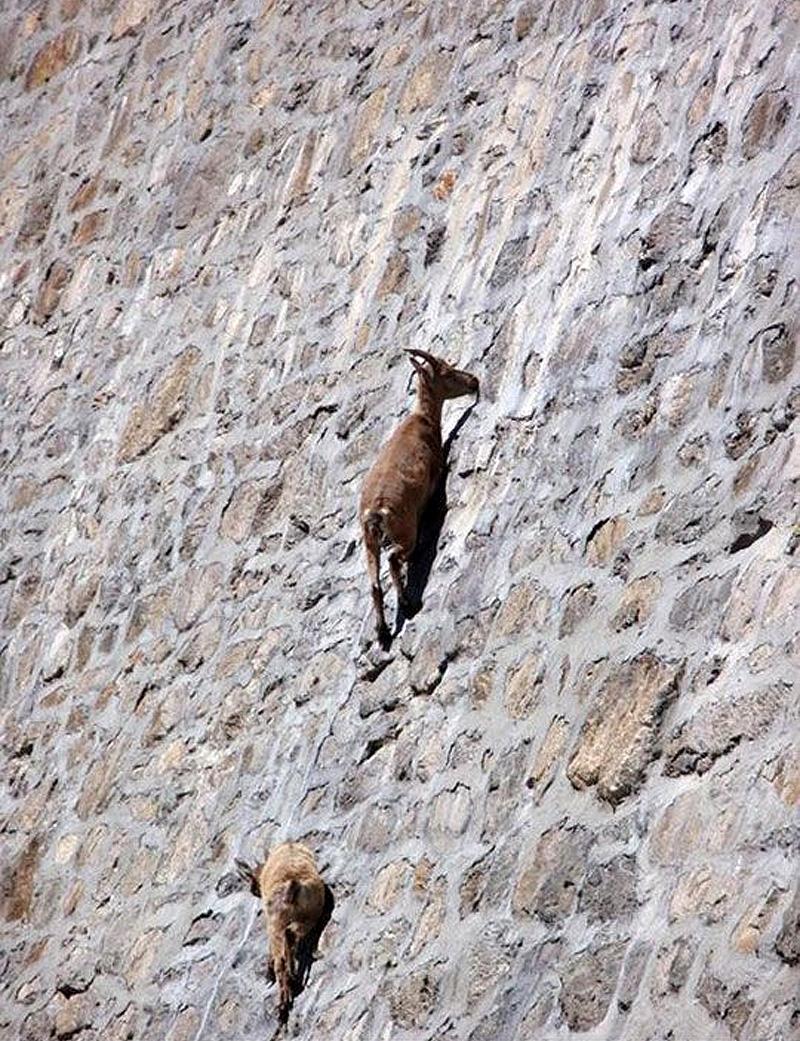 Lugares completamente reales donde nunca pensarías que una cabra pudiera llegar a subirse 3