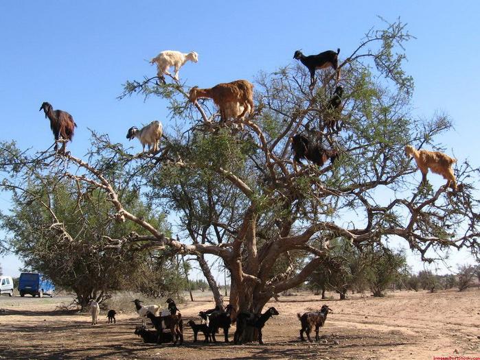 Lugares completamente reales donde nunca pensarías que una cabra pudiera llegar a subirse 6