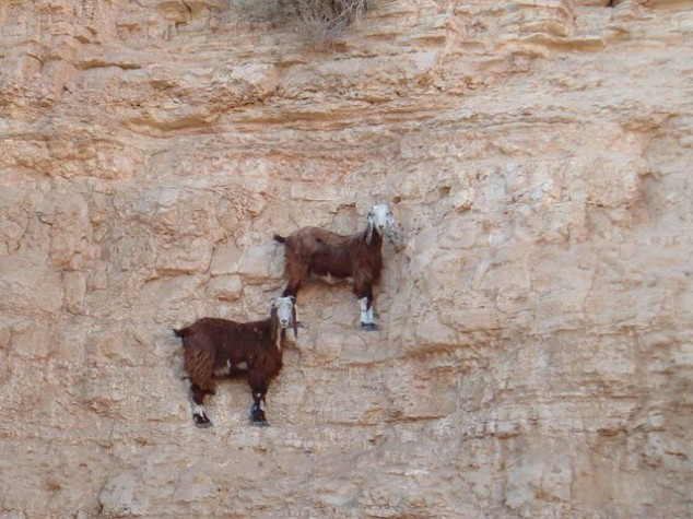 Lugares completamente reales donde nunca pensarías que una cabra pudiera llegar a subirse 8